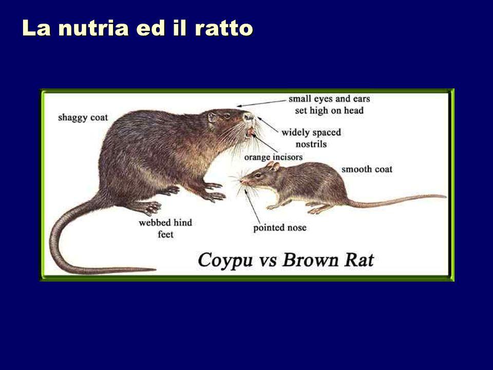 Castoro Nutria o coypu Lontra Evitiamo di dire c……!!!!