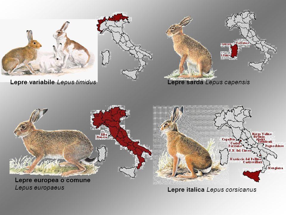 Lepre variabile Lepus timidusLepre sarda Lepus capensis Lepre europea o comune Lepus europaeus Lepre italica Lepus corsicanus