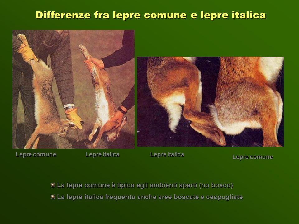 Differenze fra lepre comune e lepre italica Lepre comune Lepre italica Lepre comune Lepre italica La lepre comune è tipica egli ambienti aperti (no bo