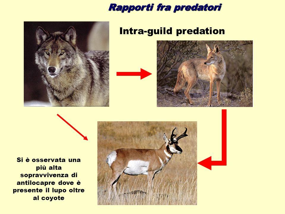 Rapporti fra predatori Si è osservata una più alta sopravvivenza di antilocapre dove è presente il lupo oltre al coyote Intra-guild predation