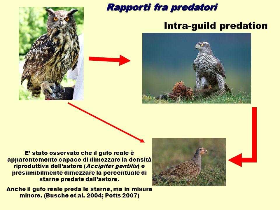 Rapporti fra predatori Intra-guild predation E stato osservato che il gufo reale è apparentemente capace di dimezzare la densità riproduttiva dellasto