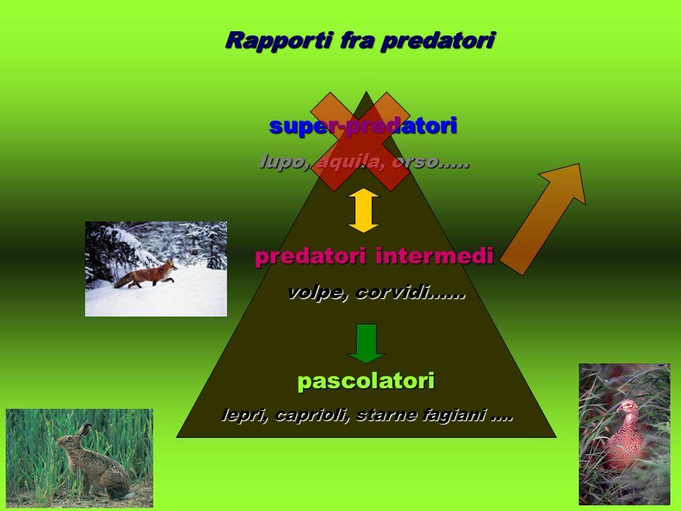 super-predatori lupo, aquila, orso..... predatori intermedi volpe, corvidi...... pascolatori lepri, caprioli, starne fagiani.... Rapporti fra predator