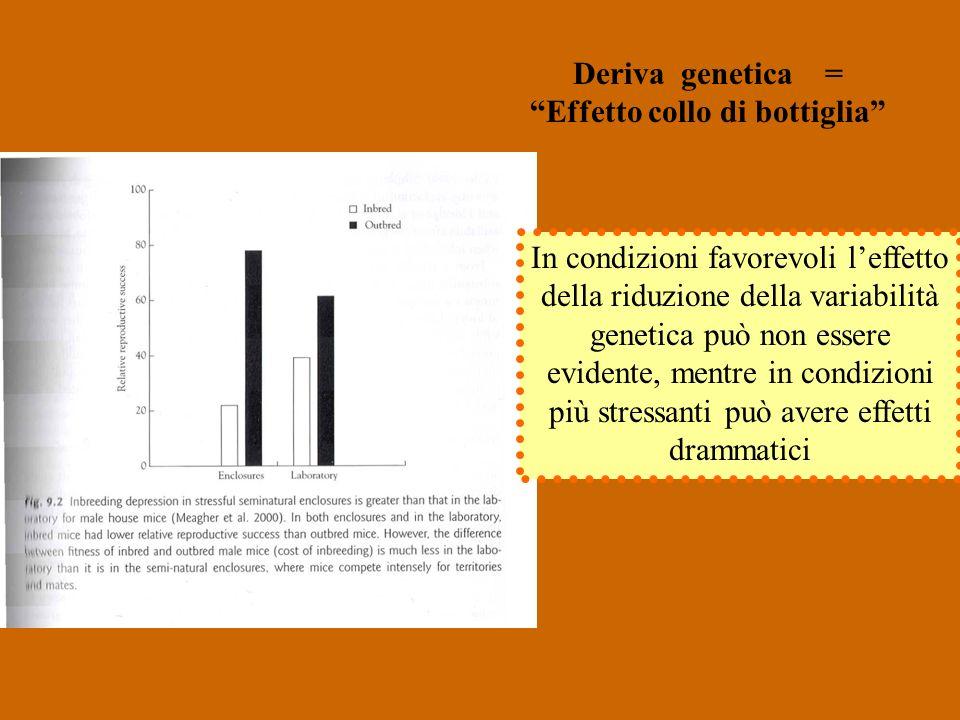 Deriva genetica = Effetto collo di bottiglia In condizioni favorevoli leffetto della riduzione della variabilità genetica può non essere evidente, mentre in condizioni più stressanti può avere effetti drammatici