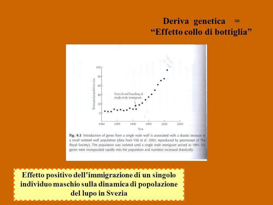 Deriva genetica = Effetto collo di bottiglia Effetto positivo dellimmigrazione di un singolo individuo maschio sulla dinamica di popolazione del lupo in Svezia
