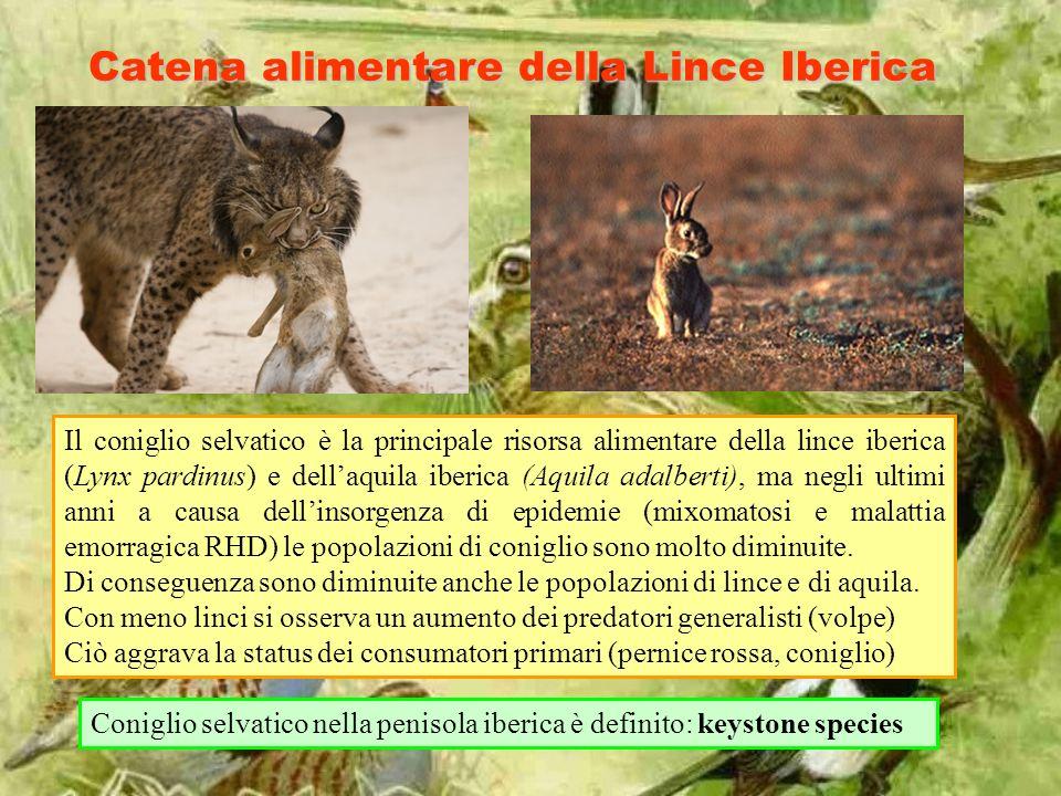 Catena alimentare della Lince Iberica Il coniglio selvatico è la principale risorsa alimentare della lince iberica (Lynx pardinus) e dellaquila iberica (Aquila adalberti), ma negli ultimi anni a causa dellinsorgenza di epidemie (mixomatosi e malattia emorragica RHD) le popolazioni di coniglio sono molto diminuite.