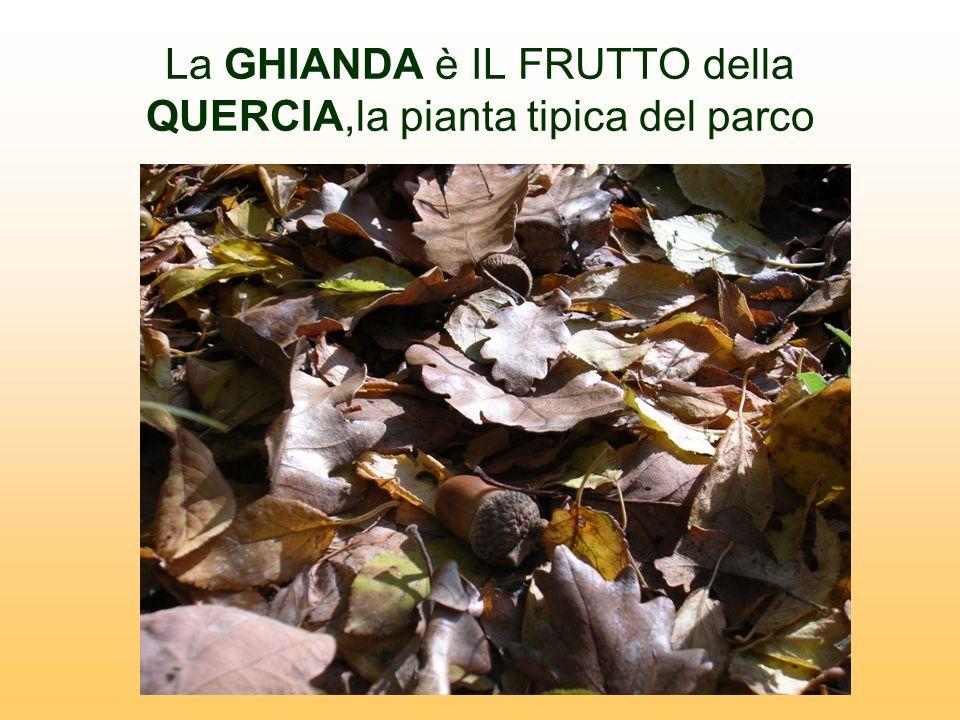La GHIANDA è IL FRUTTO della QUERCIA,la pianta tipica del parco