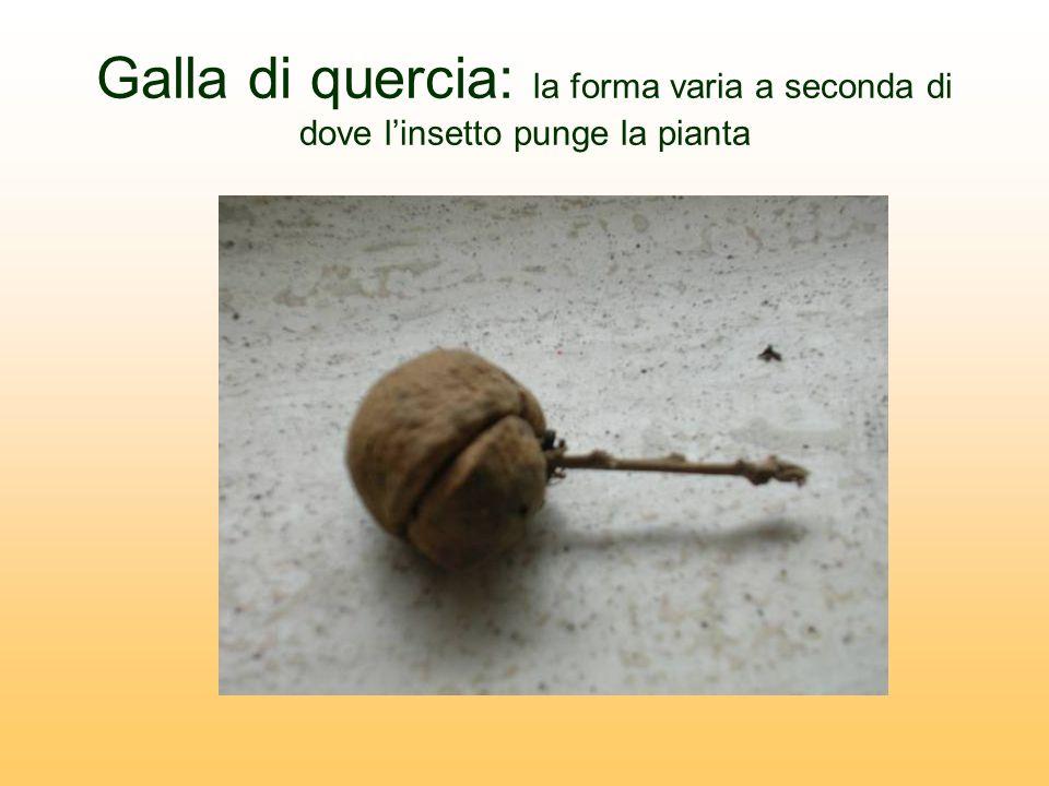 Galla di quercia: la forma varia a seconda di dove linsetto punge la pianta