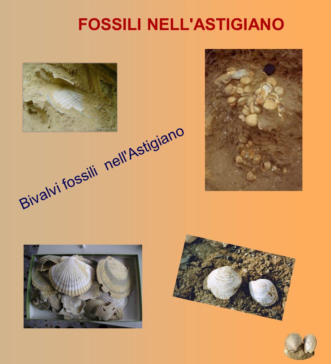 FOSSILI NELL'ASTIGIANO Bivalvi fossili nell'Astigiano