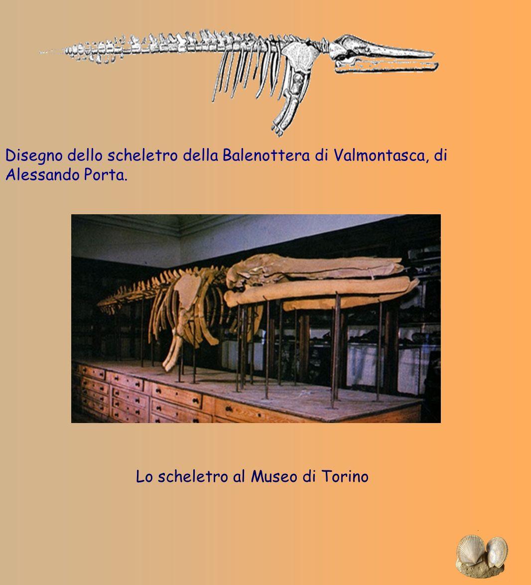 Disegno dello scheletro della Balenottera di Valmontasca, di Alessando Porta. Lo scheletro al Museo di Torino