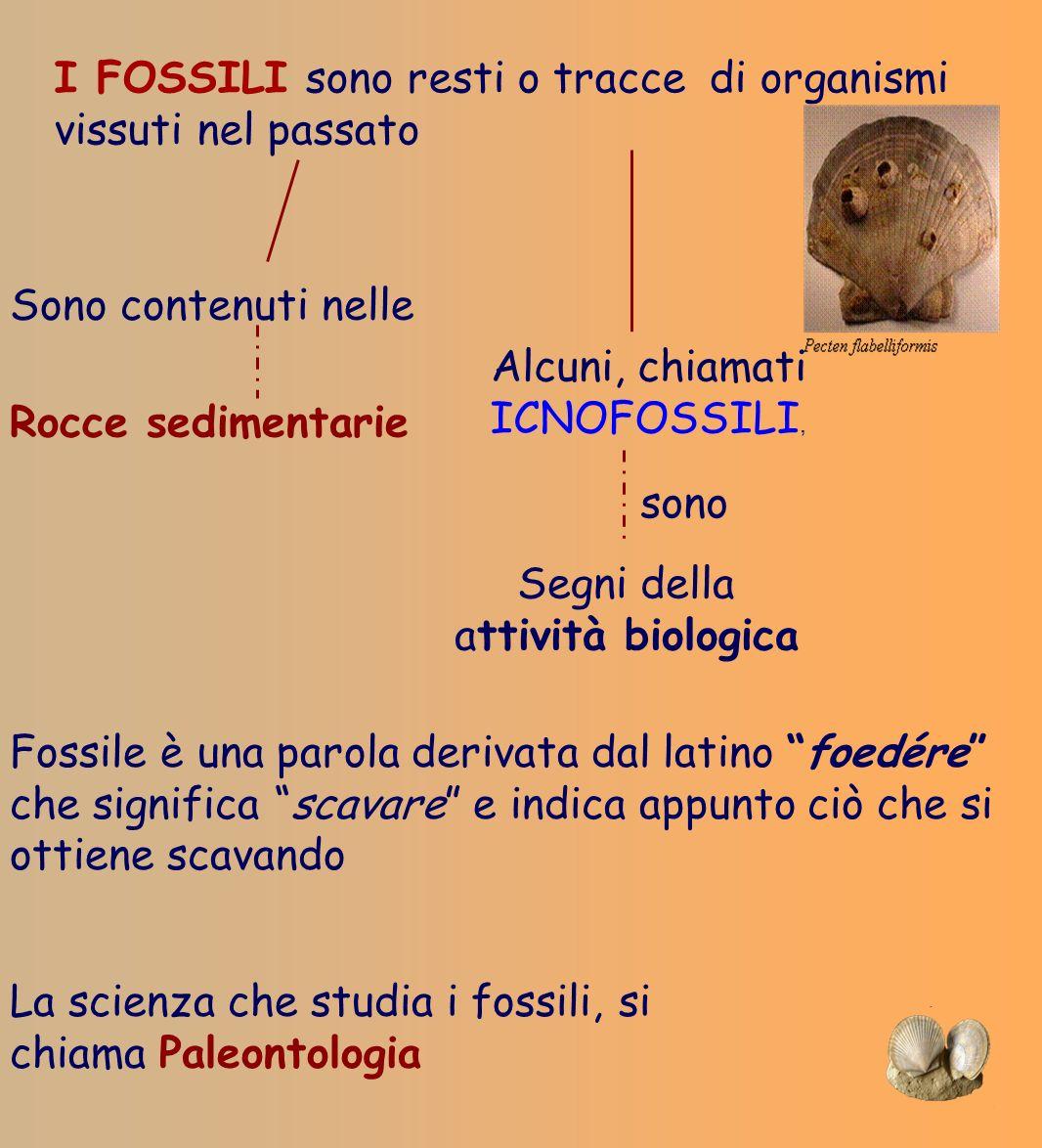 I FOSSILI sono resti o tracce di organismi vissuti nel passato Sono contenuti nelle Rocce sedimentarie Alcuni, chiamati ICNOFOSSILI, Segni della attiv