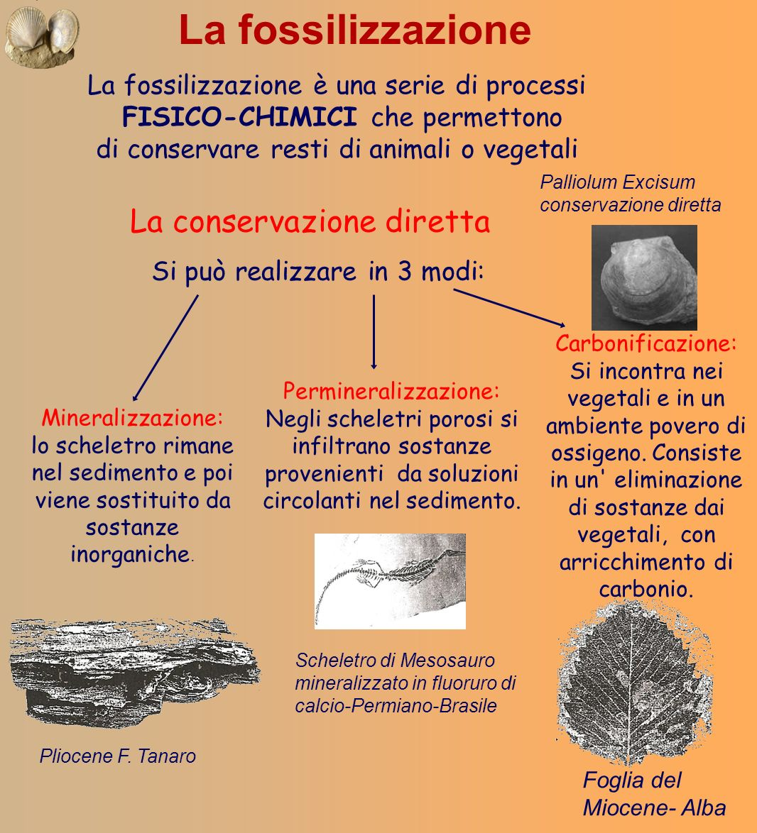 La FOSSILIZZAZIONE è più frequente in ambiente marino o comunque acquatico, e raramente è possibile sulla superficie terrestre Fossili AUTOCTONI: si trovano esattamente dove si sono formati Fossili ALLOCTONI: sono stati trasportati dagli agenti meteorologici in altro luogo da quello di origine CONDIZIONI INDISPENSABILI: ·Rapido seppellimento e compattazione del sedimento in cui il resto è inglobato ·Presenza di parti resistenti mineralizzate o di difficile alterazione FOSSILIZZAZIONE