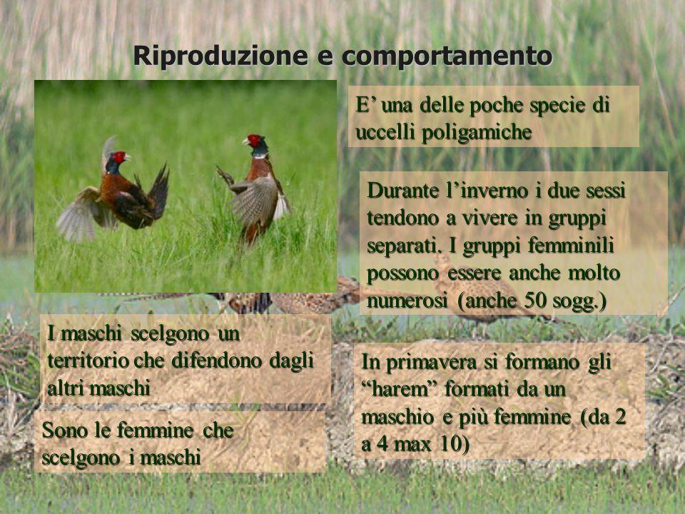 Cova allo stato selvatico In natura i fagiani localizzano il nido in posizioni diverse in funzione dellepoca di costruzione dello stesso.