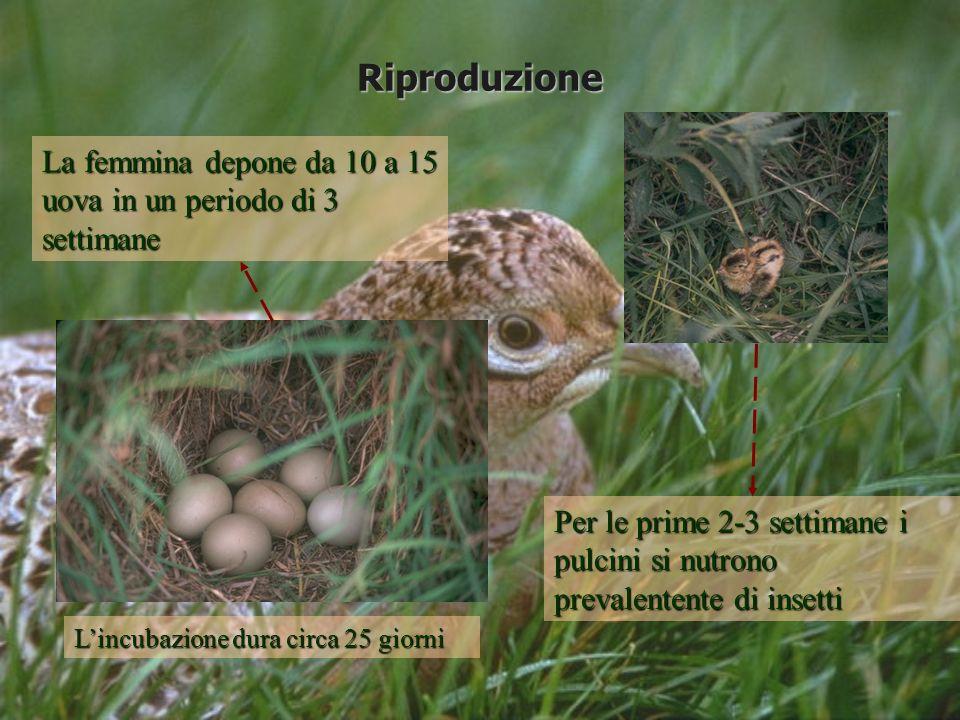 Riproduzione La femmina depone da 10 a 15 uova in un periodo di 3 settimane Per le prime 2-3 settimane i pulcini si nutrono prevalentente di insetti L