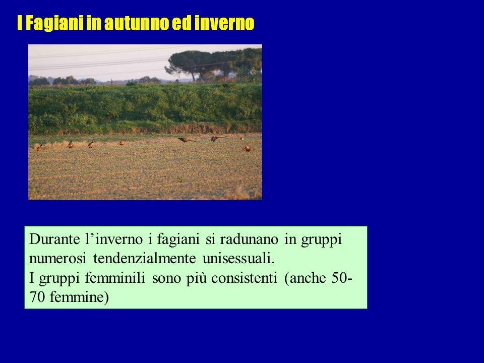 I Fagiani in autunno ed inverno Durante linverno i fagiani si radunano in gruppi numerosi tendenzialmente unisessuali. I gruppi femminili sono più con