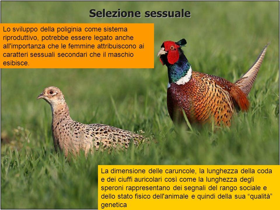 Selezione sessuale Dimensione degli ornamenti sessuali maschili caruncola ciuffo auricolare speroni Brillantezza piumaggio