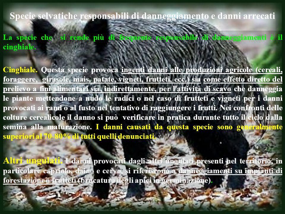 Specie selvatiche responsabili di danneggiamento e danni arrecati La specie che si rende più di frequente responsabile di danneggiamenti è il cinghial