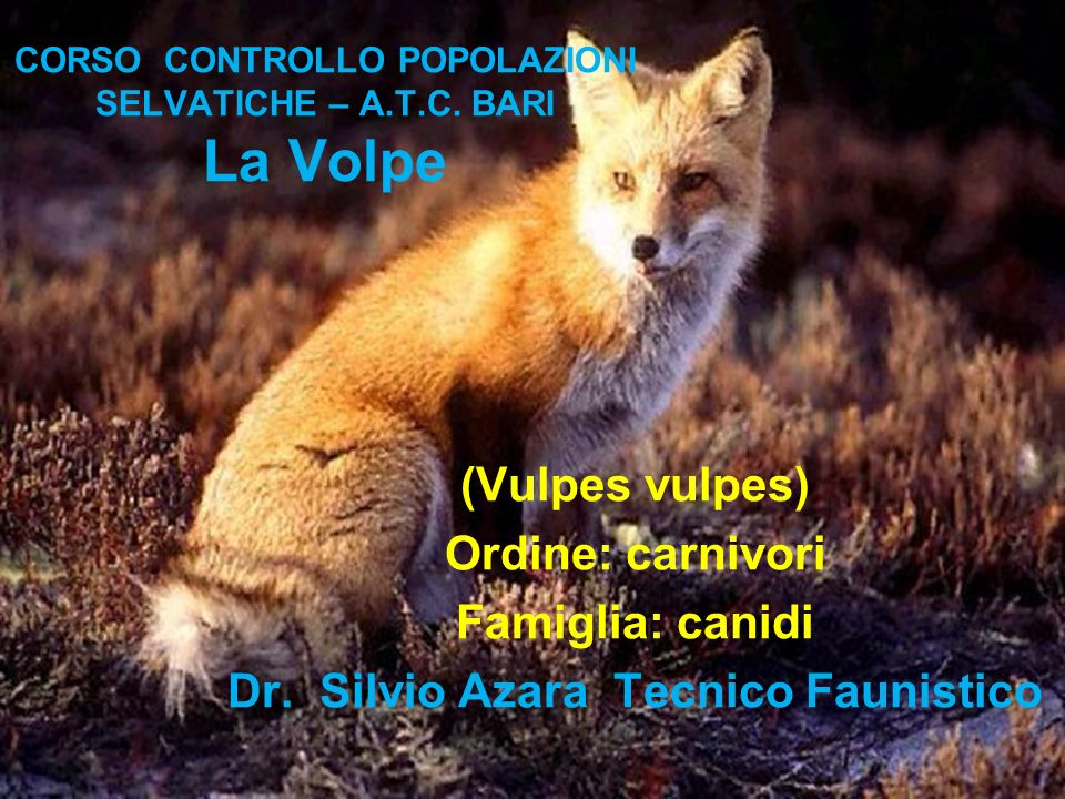 CORSO CONTROLLO POPOLAZIONI SELVATICHE – A.T.C. BARI La Volpe (Vulpes vulpes) Ordine: carnivori Famiglia: canidi Dr. Silvio Azara Tecnico Faunistico