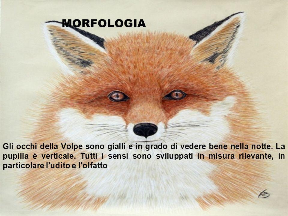 MORFOLOGIA Gli occhi della Volpe sono gialli e in grado di vedere bene nella notte. La pupilla è verticale. Tutti i sensi sono sviluppati in misura ri