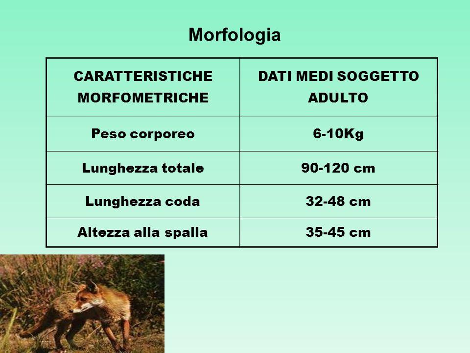 Morfologia CARATTERISTICHE MORFOMETRICHE DATI MEDI SOGGETTO ADULTO Peso corporeo6-10Kg Lunghezza totale90-120 cm Lunghezza coda32-48 cm Altezza alla s
