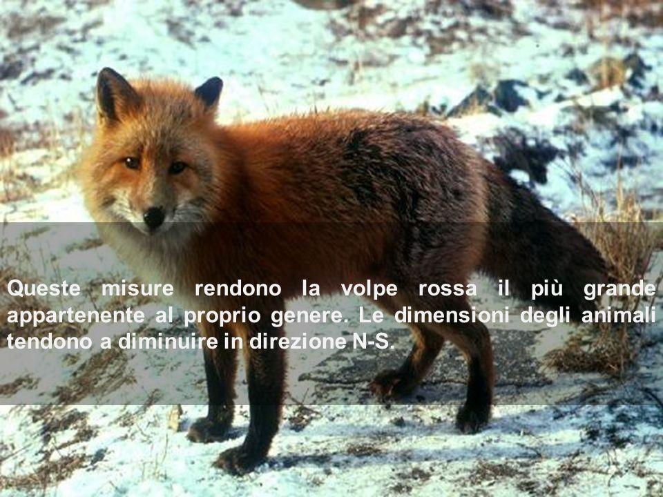Queste misure rendono la volpe rossa il più grande appartenente al proprio genere. Le dimensioni degli animali tendono a diminuire in direzione N-S.