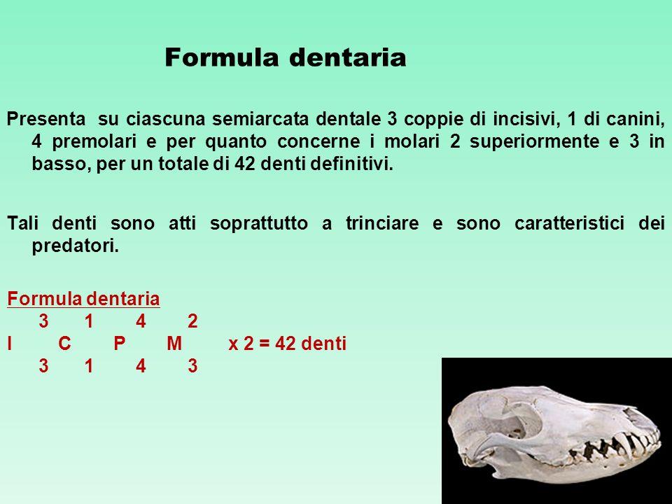 Formula dentaria Presenta su ciascuna semiarcata dentale 3 coppie di incisivi, 1 di canini, 4 premolari e per quanto concerne i molari 2 superiormente