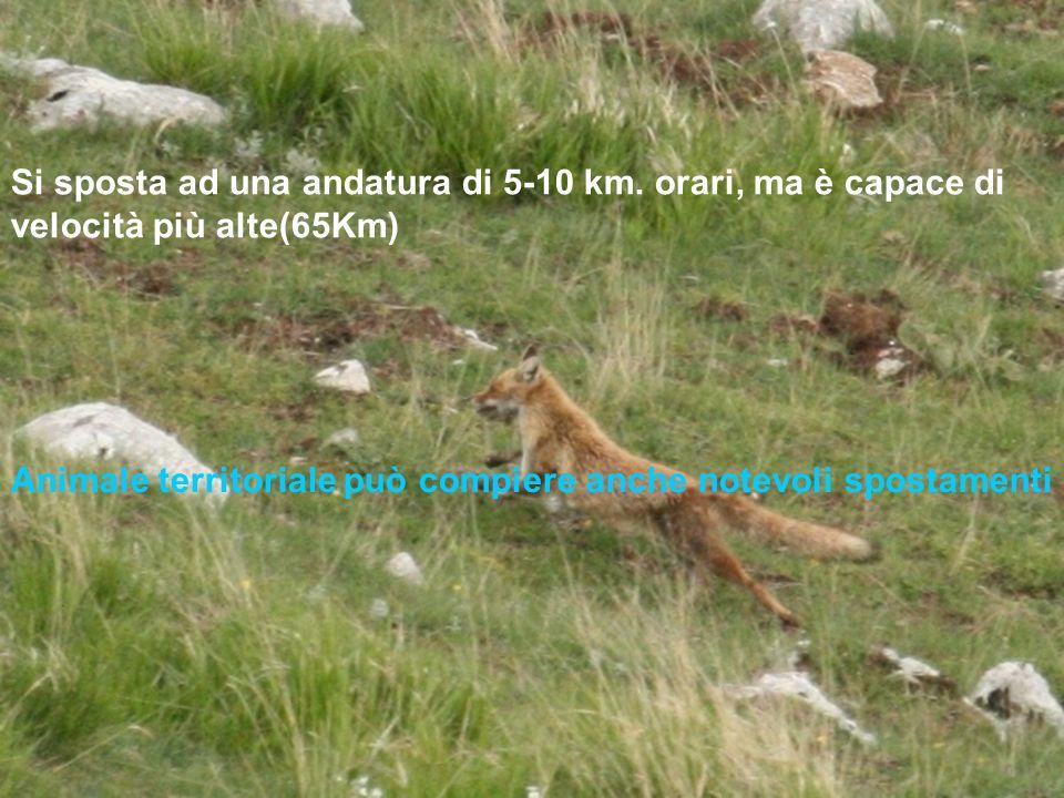 Si sposta ad una andatura di 5-10 km. orari, ma è capace di velocità più alte(65Km) Animale territoriale può compiere anche notevoli spostamenti