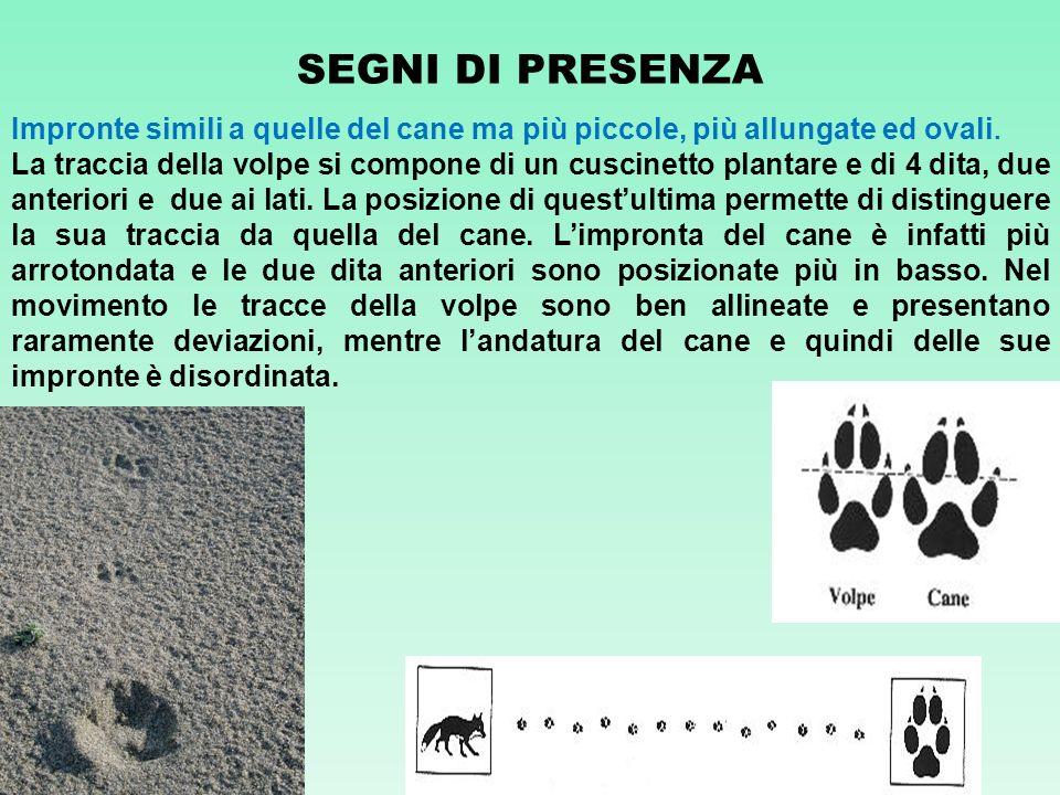 SEGNI DI PRESENZA Impronte simili a quelle del cane ma più piccole, più allungate ed ovali. La traccia della volpe si compone di un cuscinetto plantar