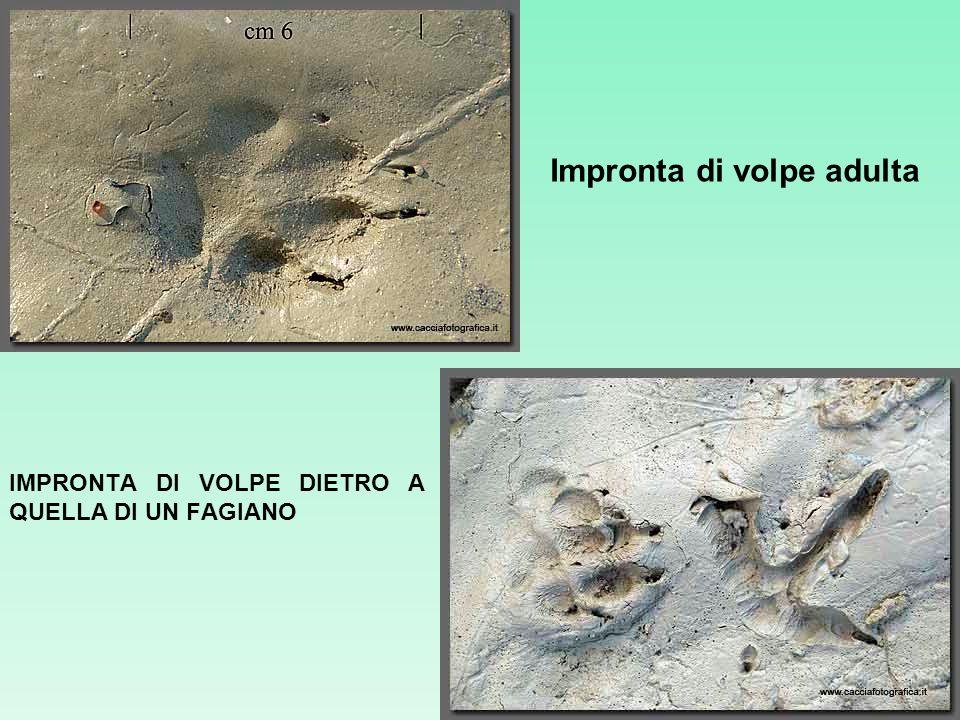 IMPRONTA DI VOLPE DIETRO A QUELLA DI UN FAGIANO Impronta di volpe adulta