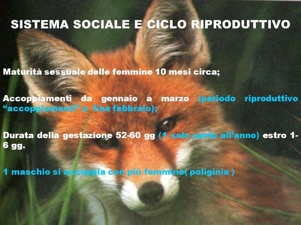 SISTEMA SOCIALE E CICLO RIPRODUTTIVO Maturità sessuale delle femmine 10 mesi circa; Accoppiamenti da gennaio a marzo (periodo riproduttivo accoppiamen