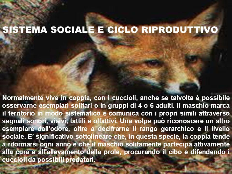 SISTEMA SOCIALE E CICLO RIPRODUTTIVO Normalmente vive in coppia, con i cuccioli, anche se talvolta è possibile osservarne esemplari solitari o in grup