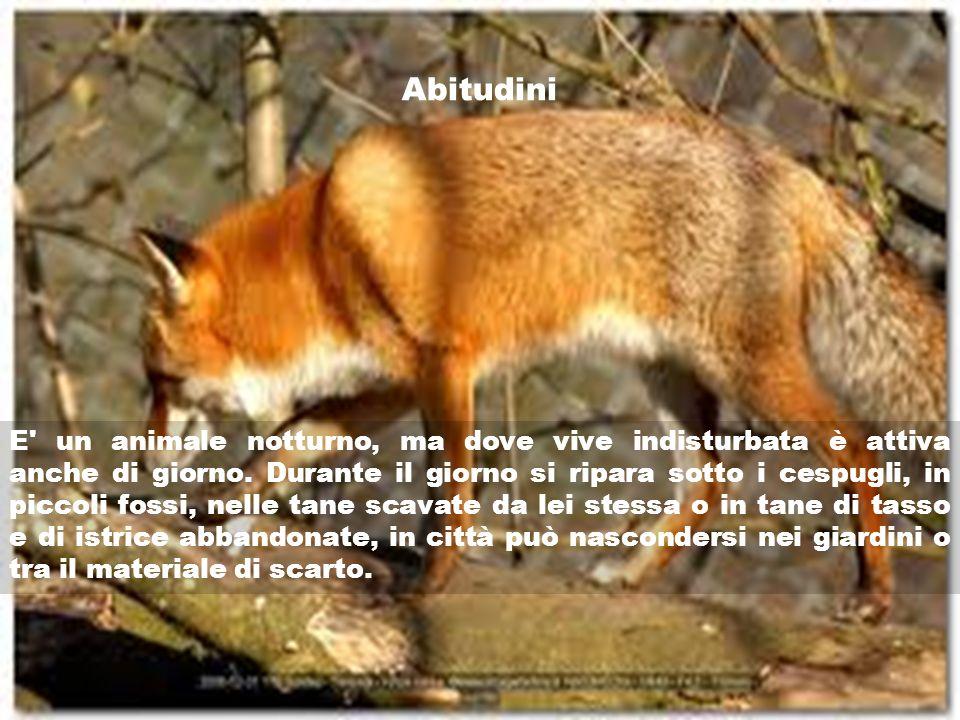 Abitudini E' un animale notturno, ma dove vive indisturbata è attiva anche di giorno. Durante il giorno si ripara sotto i cespugli, in piccoli fossi,