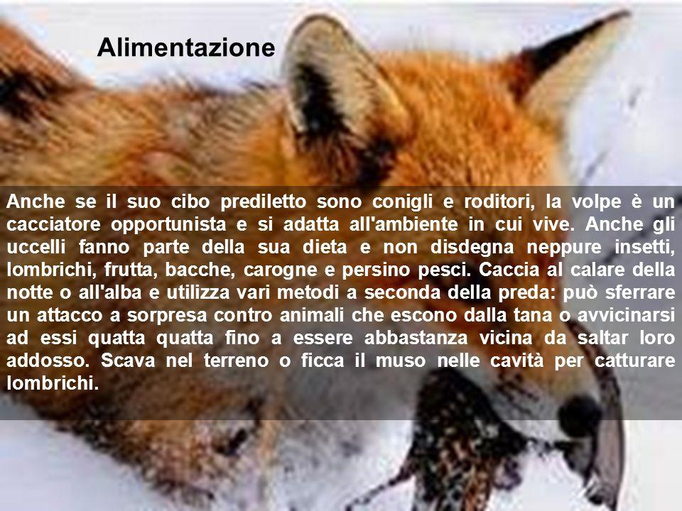 Alimentazione Anche se il suo cibo prediletto sono conigli e roditori, la volpe è un cacciatore opportunista e si adatta all'ambiente in cui vive. Anc