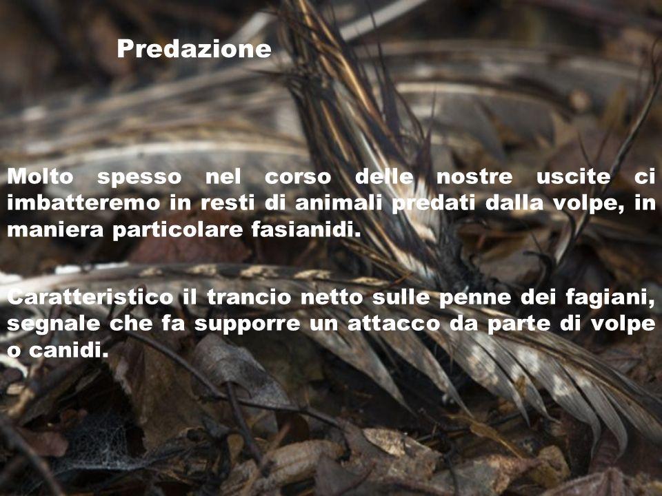 Predazione Molto spesso nel corso delle nostre uscite ci imbatteremo in resti di animali predati dalla volpe, in maniera particolare fasianidi. Caratt