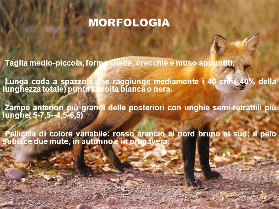 MORFOLOGIA In generale, la Volpe rossa ha un mantello con il caratteristico colore rossiccio sul dorso; le parti inferiori del corpo sono invece grigio chiaro- biancastre.