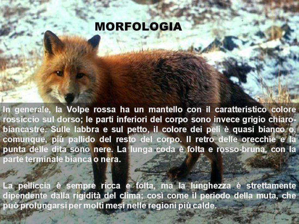 MORFOLOGIA In generale, la Volpe rossa ha un mantello con il caratteristico colore rossiccio sul dorso; le parti inferiori del corpo sono invece grigi