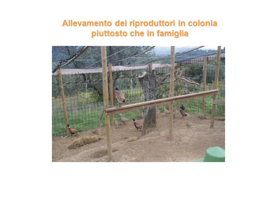 Allevamento dei riproduttori in colonia piuttosto che in famiglia