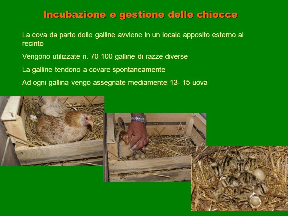 Incubazione e gestione delle chiocce La cova da parte delle galline avviene in un locale apposito esterno al recinto Vengono utilizzate n. 70-100 gall