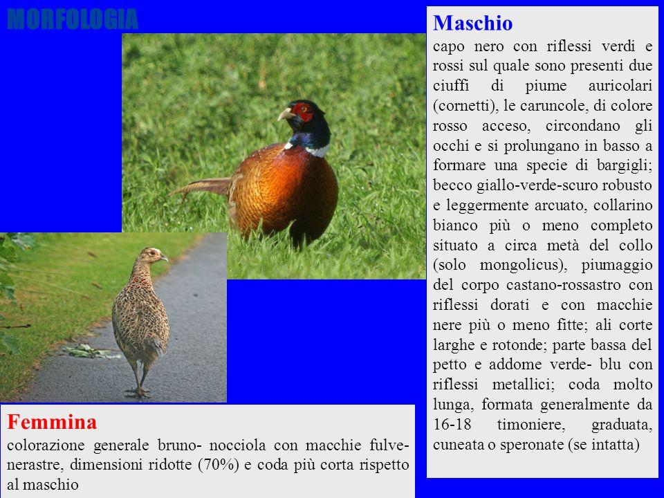 11 Femmina colorazione generale bruno- nocciola con macchie fulve- nerastre, dimensioni ridotte (70%) e coda più corta rispetto al maschio Maschio cap