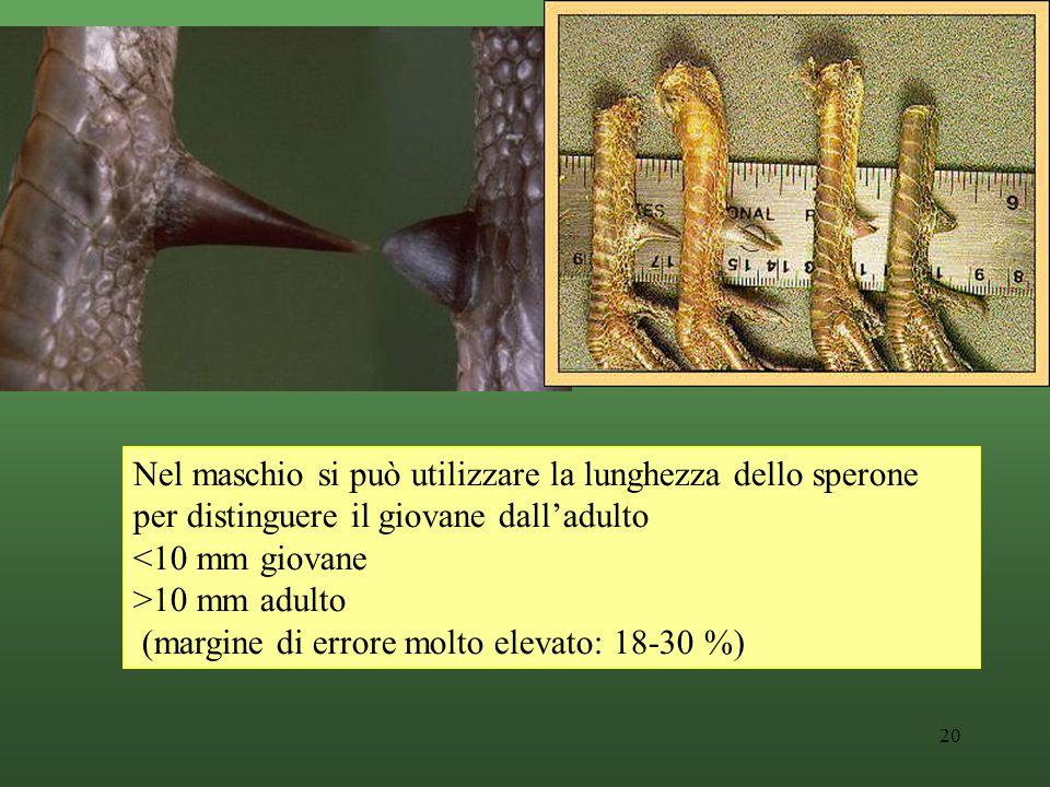 20 Nel maschio si può utilizzare la lunghezza dello sperone per distinguere il giovane dalladulto <10 mm giovane >10 mm adulto (margine di errore molto elevato: 18-30 %)