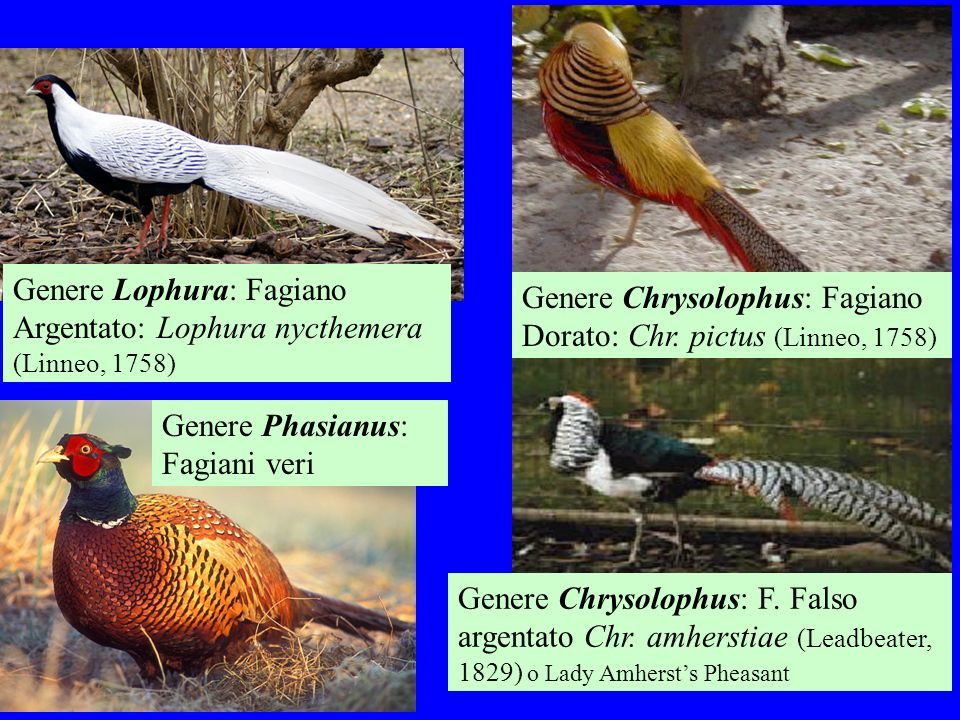 4 Genere Phasianus: Fagiani veri Genere Lophura: Fagiano Argentato: Lophura nycthemera (Linneo, 1758) Genere Chrysolophus: Fagiano Dorato: Chr. pictus