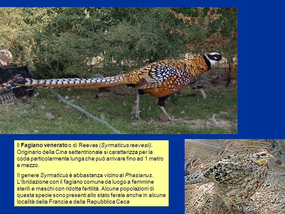 5 ll Fagiano venerato o di Reeves (Syrmaticus reevesii). Originario della Cina settentrionale si caratterizza per la coda particolarmente lunga che pu
