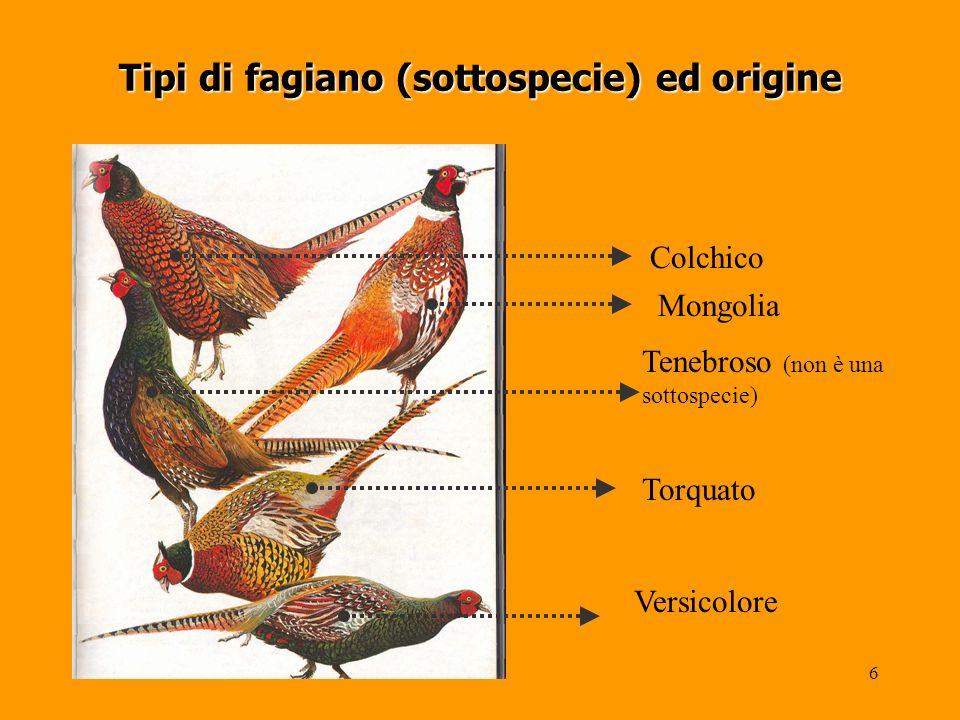 6 Tipi di fagiano (sottospecie) ed origine Colchico Mongolia Tenebroso (non è una sottospecie) Torquato Versicolore