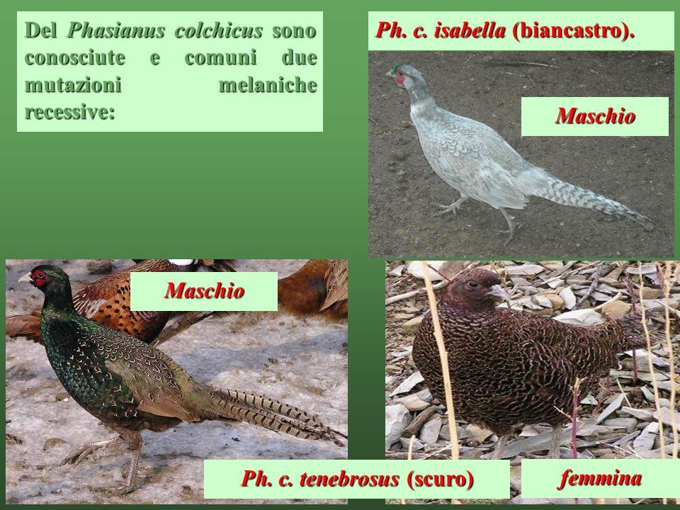 7 Del Phasianus colchicussono conosciute e comuni due mutazioni melaniche recessive: Del Phasianus colchicus sono conosciute e comuni due mutazioni me