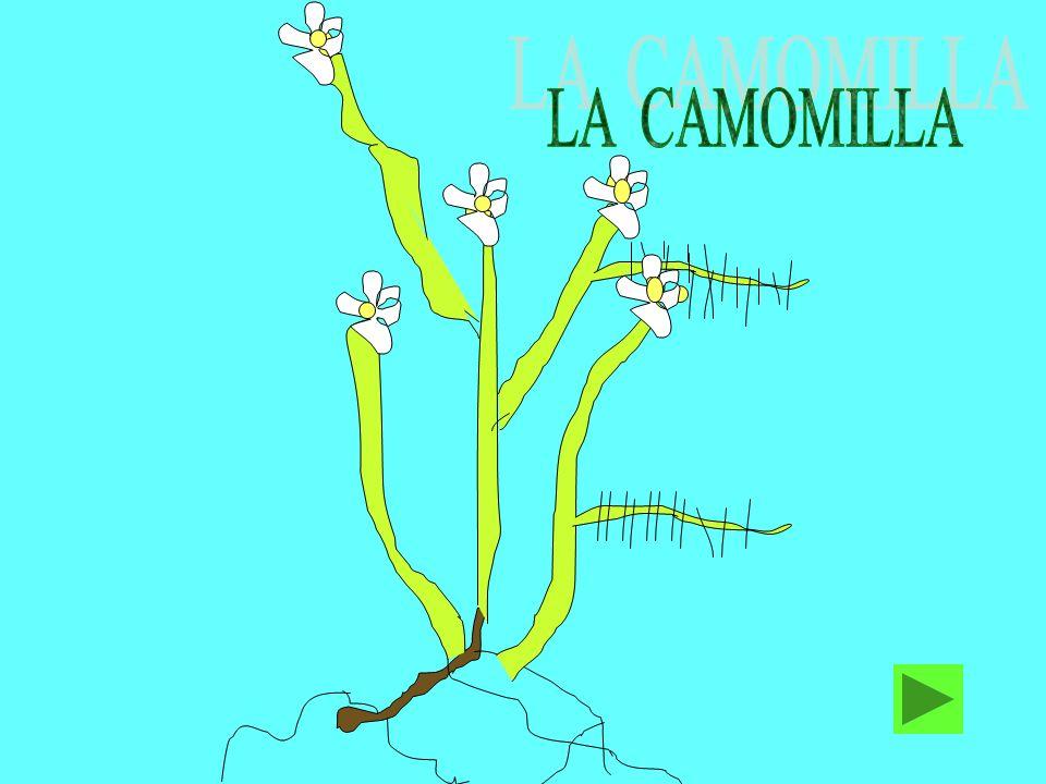 La camomilla LA CAMOMILLA COMUNE E UNA PIANTA PRESENTE NEI CAMPI DI FRUMENTO E NEI PRATI.