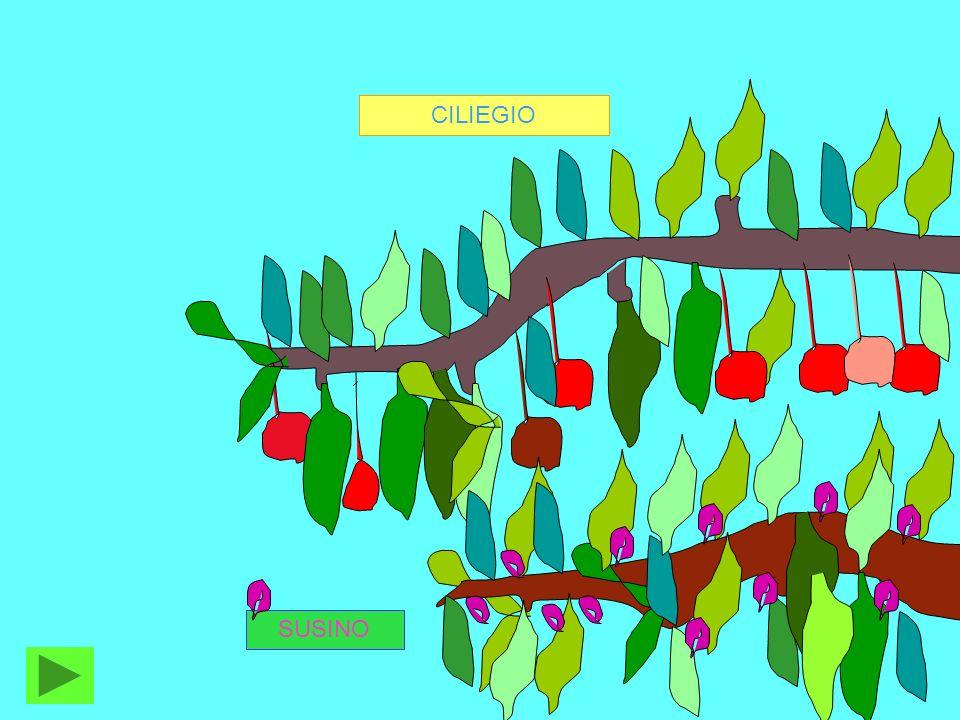 Ogni frutto contiene trenta o quaranta semi avvolti in una polpa bianca.