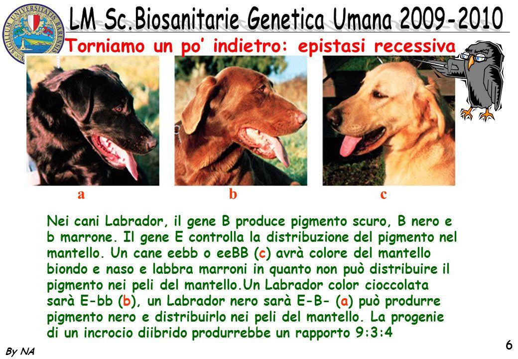 By NA 6 Nei cani Labrador, il gene B produce pigmento scuro, B nero e b marrone. Il gene E controlla la distribuzione del pigmento nel mantello. Un ca