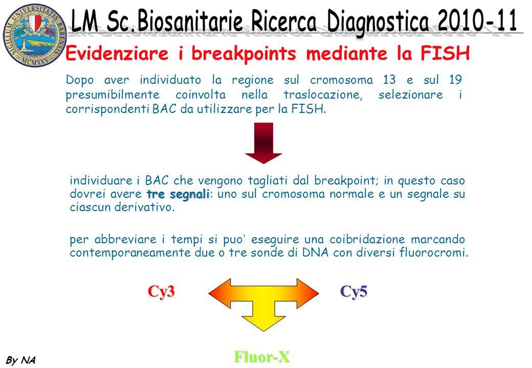 By NA Evidenziare i breakpoints mediante la FISH Dopo aver individuato la regione sul cromosoma 13 e sul 19 presumibilmente coinvolta nella traslocazi