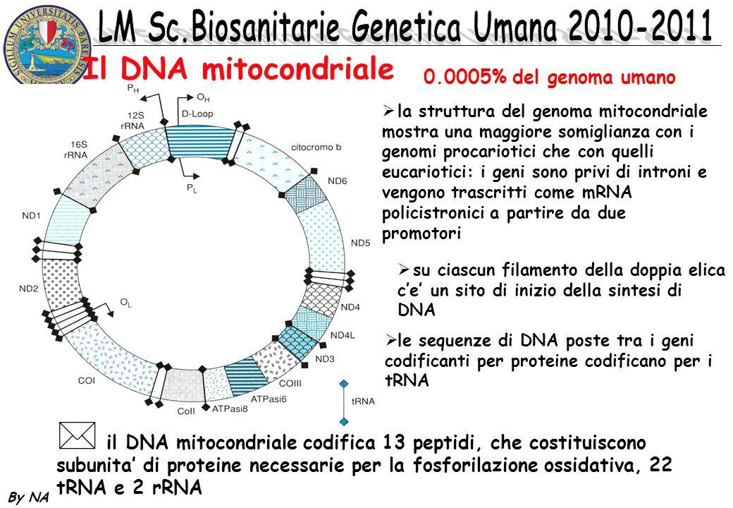 By NA Il DNA mitocondriale 0.0005% del genoma umano la struttura del genoma mitocondriale mostra una maggiore somiglianza con i genomi procariotici ch