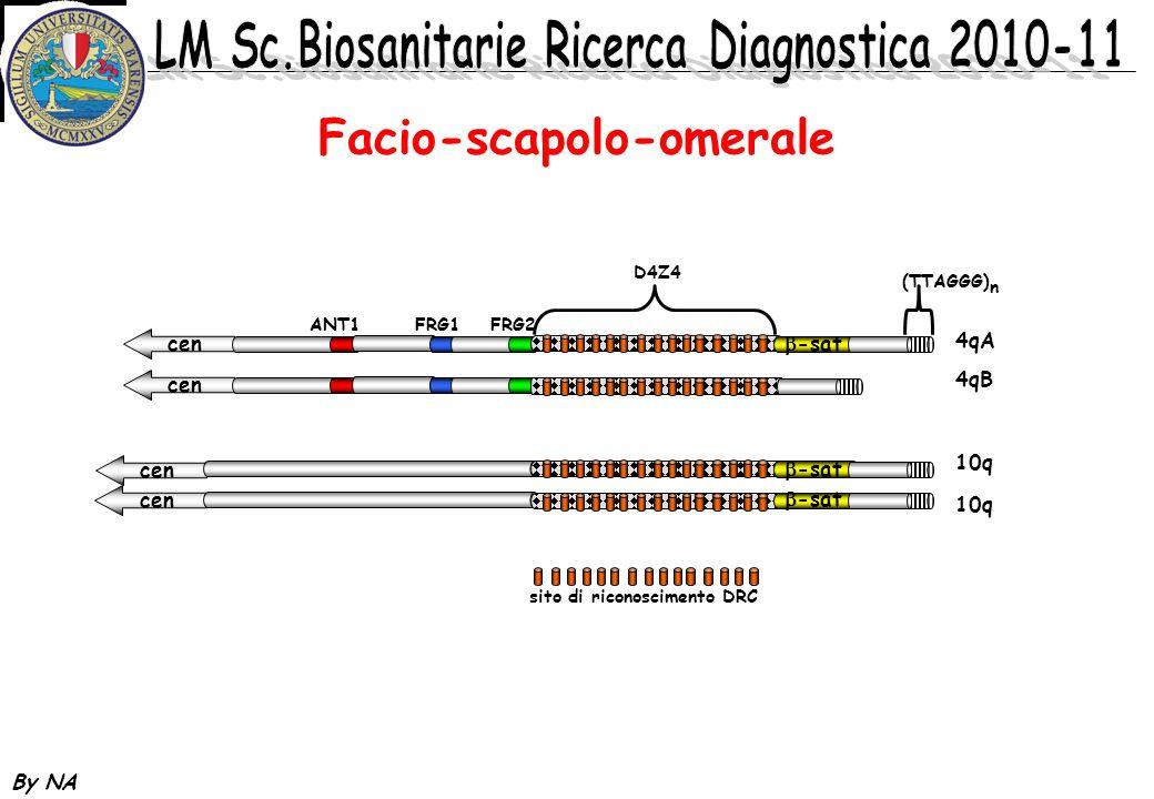 By NA cen Facio-scapolo-omerale -sat ANT1 FRG1 FRG2 D4Z4 (TTAGGG) n 4qA 4qB 10q sito di riconoscimento DRC