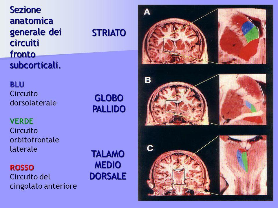 Sezione anatomica generale dei circuiti fronto subcorticali. BLU Circuito dorsolaterale VERDE Circuito orbitofrontale lateraleROSSO Circuito del cingo